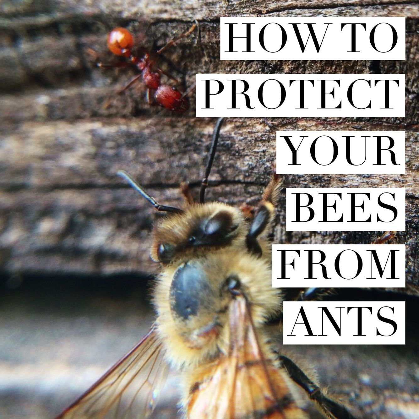 Learn how to keep ants out of your hives. | Bee Keeping | Pinterest ...
