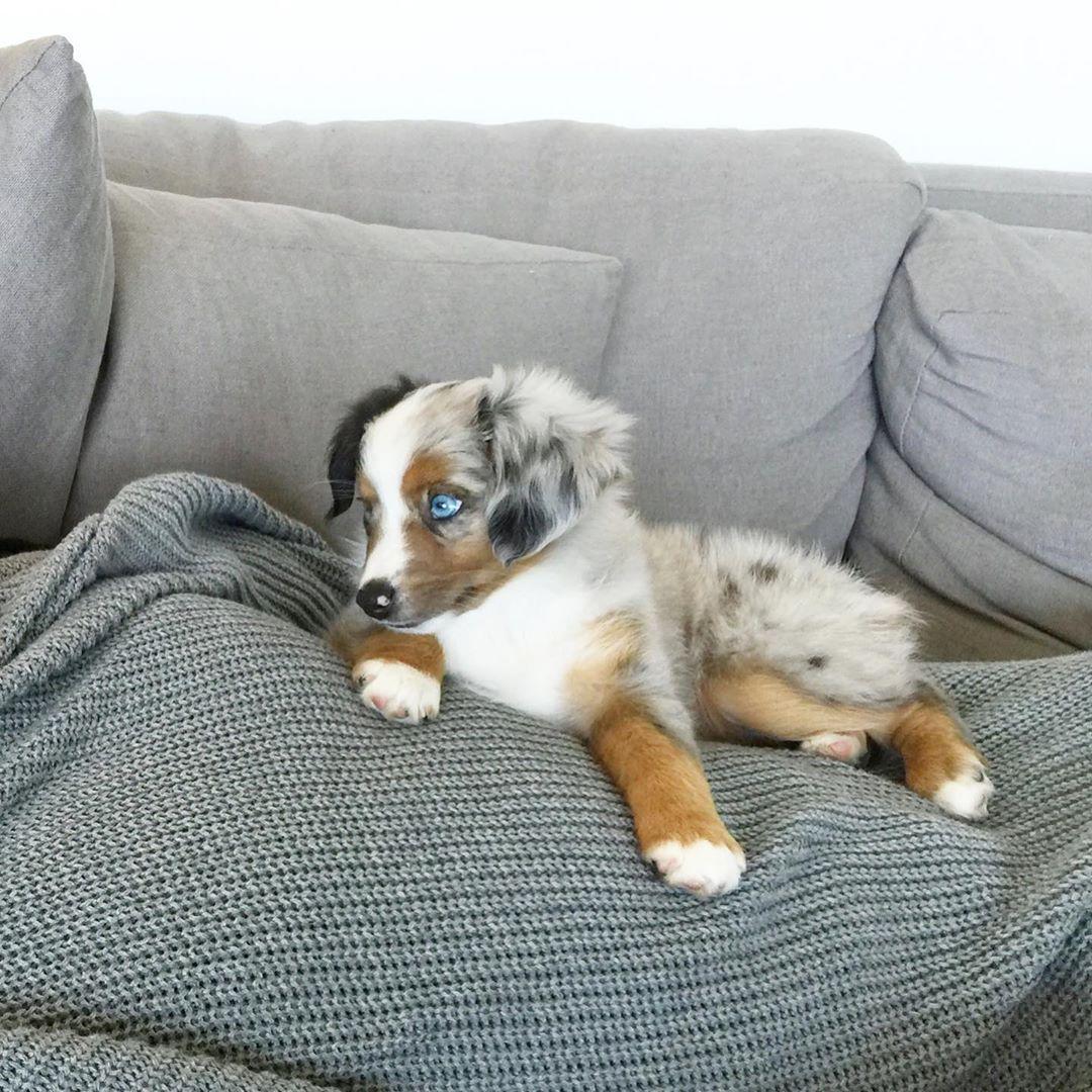 boxer puppies orlando florida