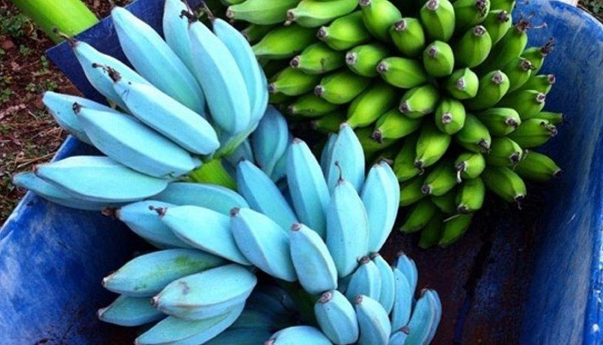 Blue Bananas Google Pretraga Banana Fruit Blue Banana