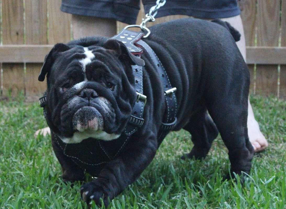 I Love This Bulldog Black English Bulldog English Bulldog Dog