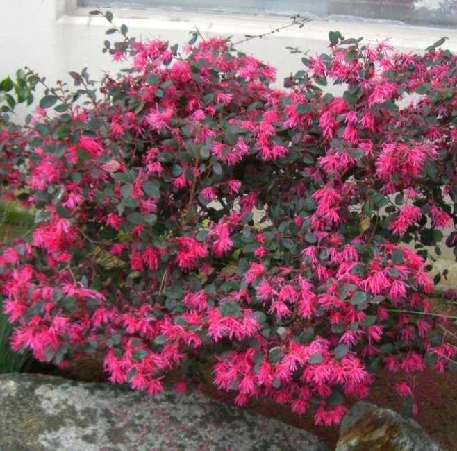 Razzleberri Shrubs Loropetalum Chinensis Perennial Garden