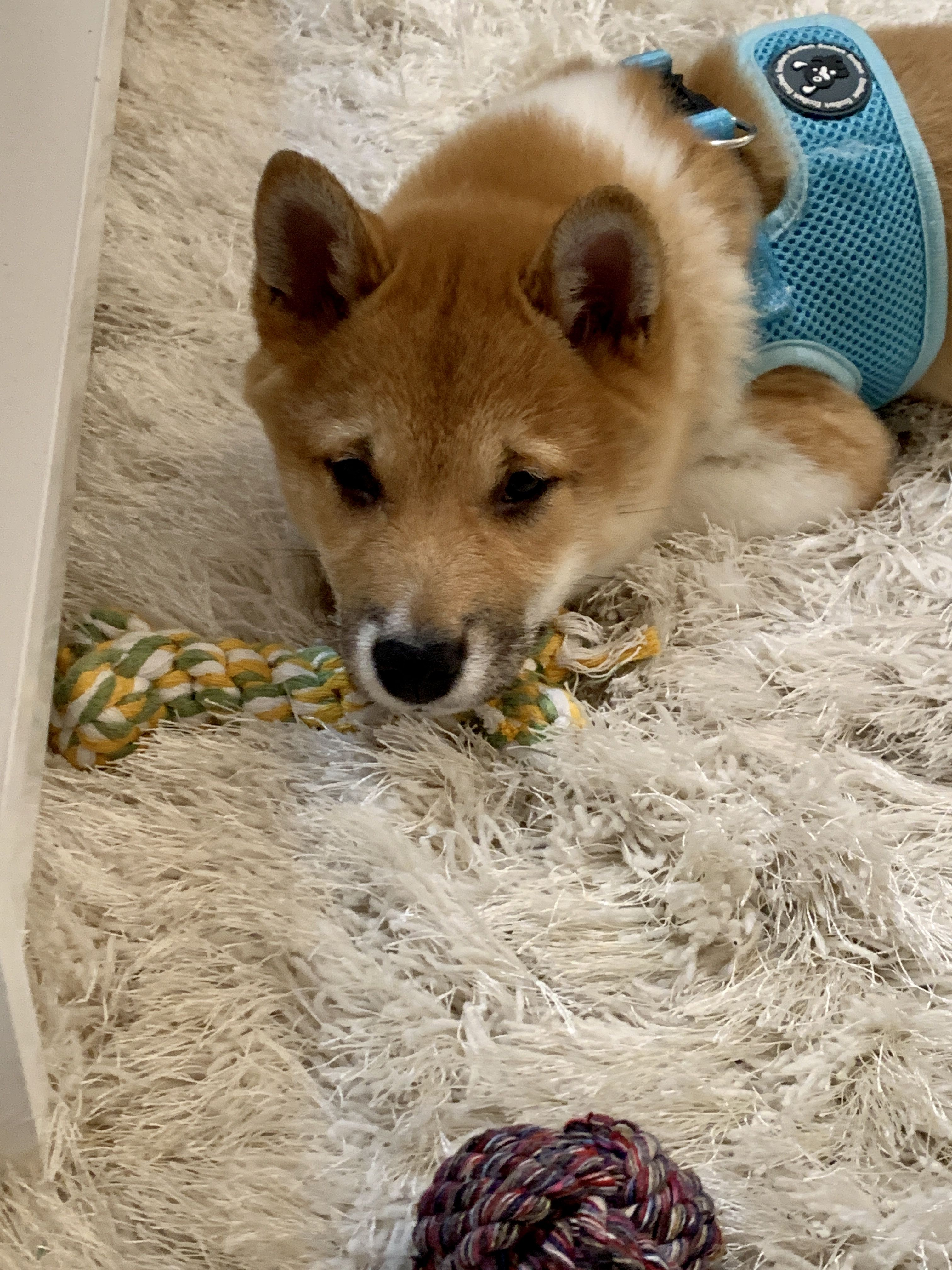 We Love Hearing From You Ralphie Formally Olaf Is Literally Perfect Even The Vet Used That Phrase He Is In Perf In 2020 Shiba Inu Puppy Puppies Shiba Inu