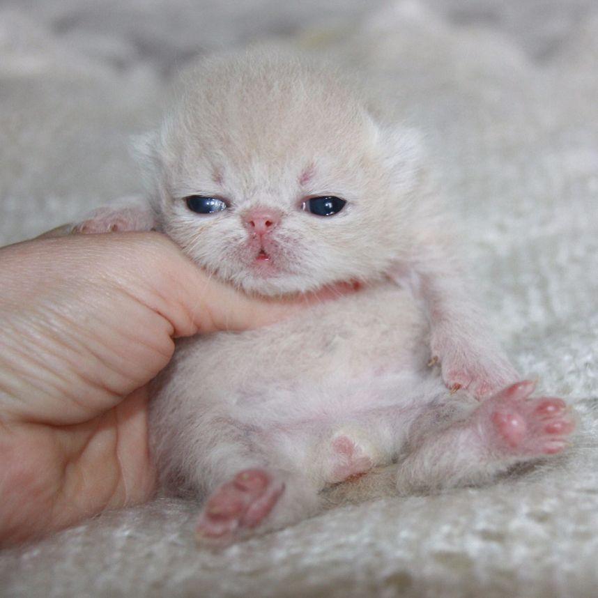 "OMG What an adorable little kitten! 180 Likes, 6 Comments - darliz (@zoya_shulga) on Instagram: ""Little Frank ❤️#exoticcat #exotickitten #persiancat #persiankitten #exoticlonghair #catstagram…"""