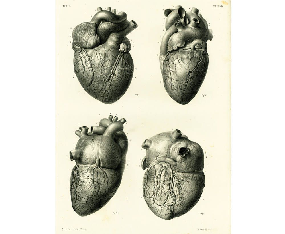 1836 Antique Heart XL Print, Heart Anatomy illustration Poster ...