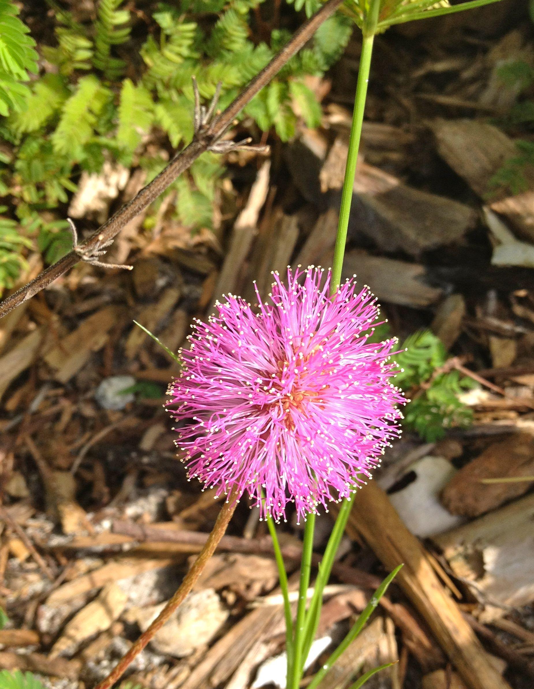 This One Looks Like A Pink Dandelion Dandelion Flowers Plants