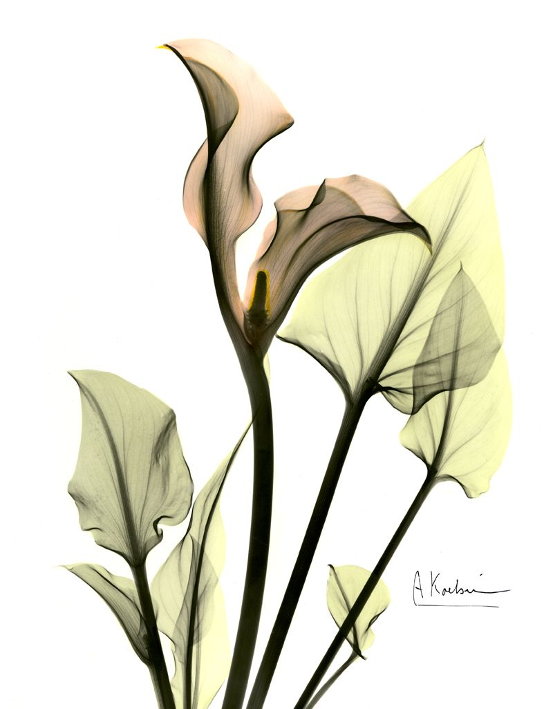 Albert S Xrays Of Calla Lilies Propelled Him To National Attention Xray Art Xray Flower Calla Lily