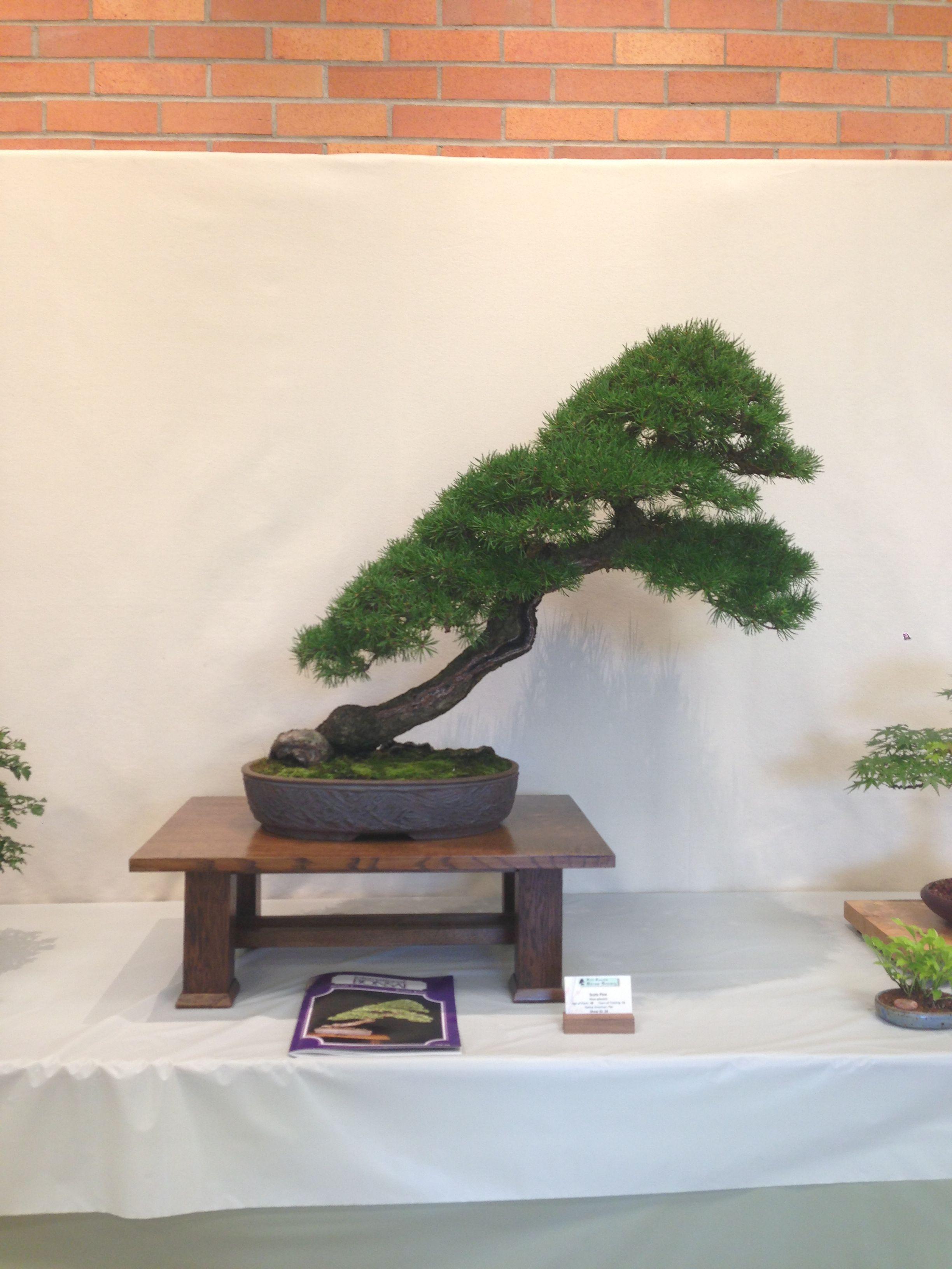 Scots Pine Bonsai From The Ann Arbor Bonsai Society Show 2013 In Michigan Pine Bonsai Bonsai Bonsai Tree