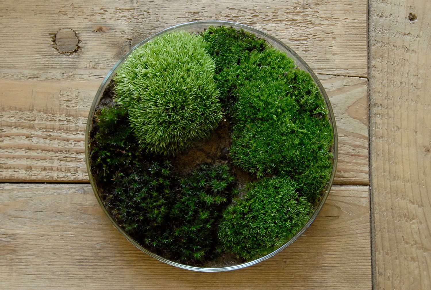 Petri dish plant terrarium i really want to make this so moss petri dish terrarium science gift for men women spring nature decor easter gift for gardeners negle Choice Image