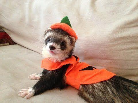 Ferret Halloween Safety