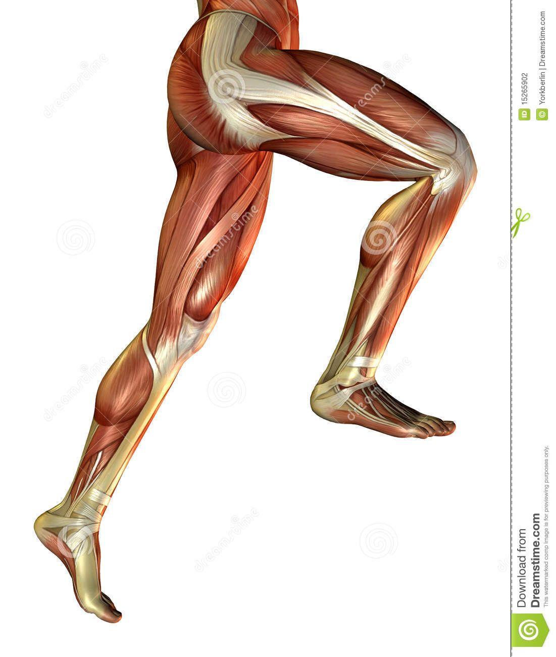 Leg Muscles Man 15265902 Jpg 1 101 1 300 Pixels Anatomia