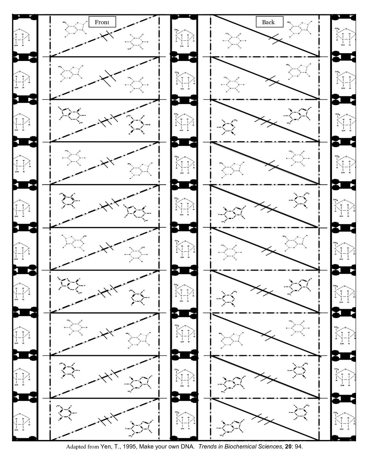 Origami Dna Model Template Blank DNA Template - Bing images | škola ...