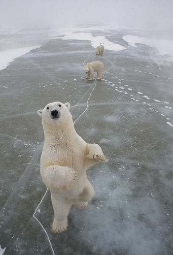 Polar Bear trio on icefield, Churchill, Manitoba, Canada