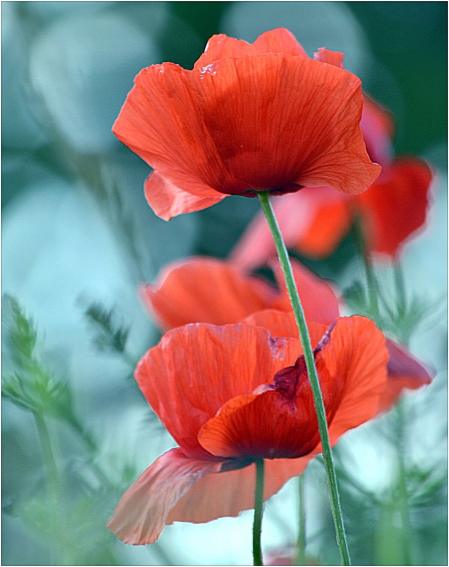 Bokeh And Poppy By Svitakovaeva On Deviantart Flower Power By Ava