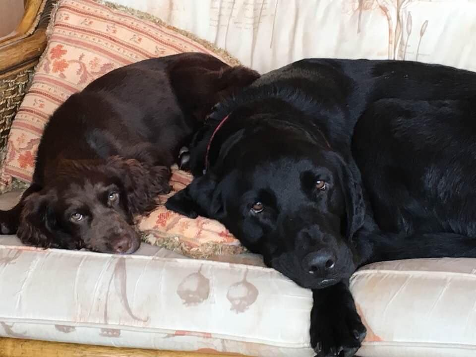 Stolen From East Haddon Daventry On 21 9 16 Poppy A 5 Month Old Spaniel Lost And Found Dogs Uk Spaniel Puppies Puppies Dogs