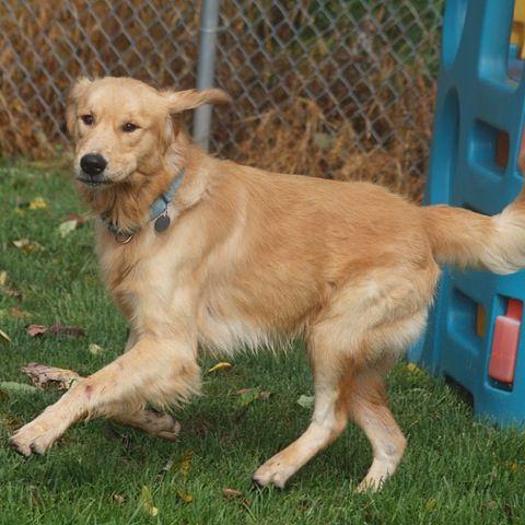 Adopt Dallas On Losing A Dog Golden Retriever Rescue Dogs