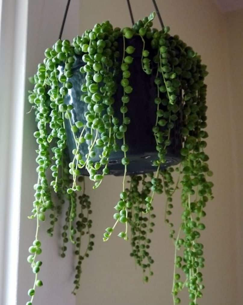 string of pearls succulent - 700×880