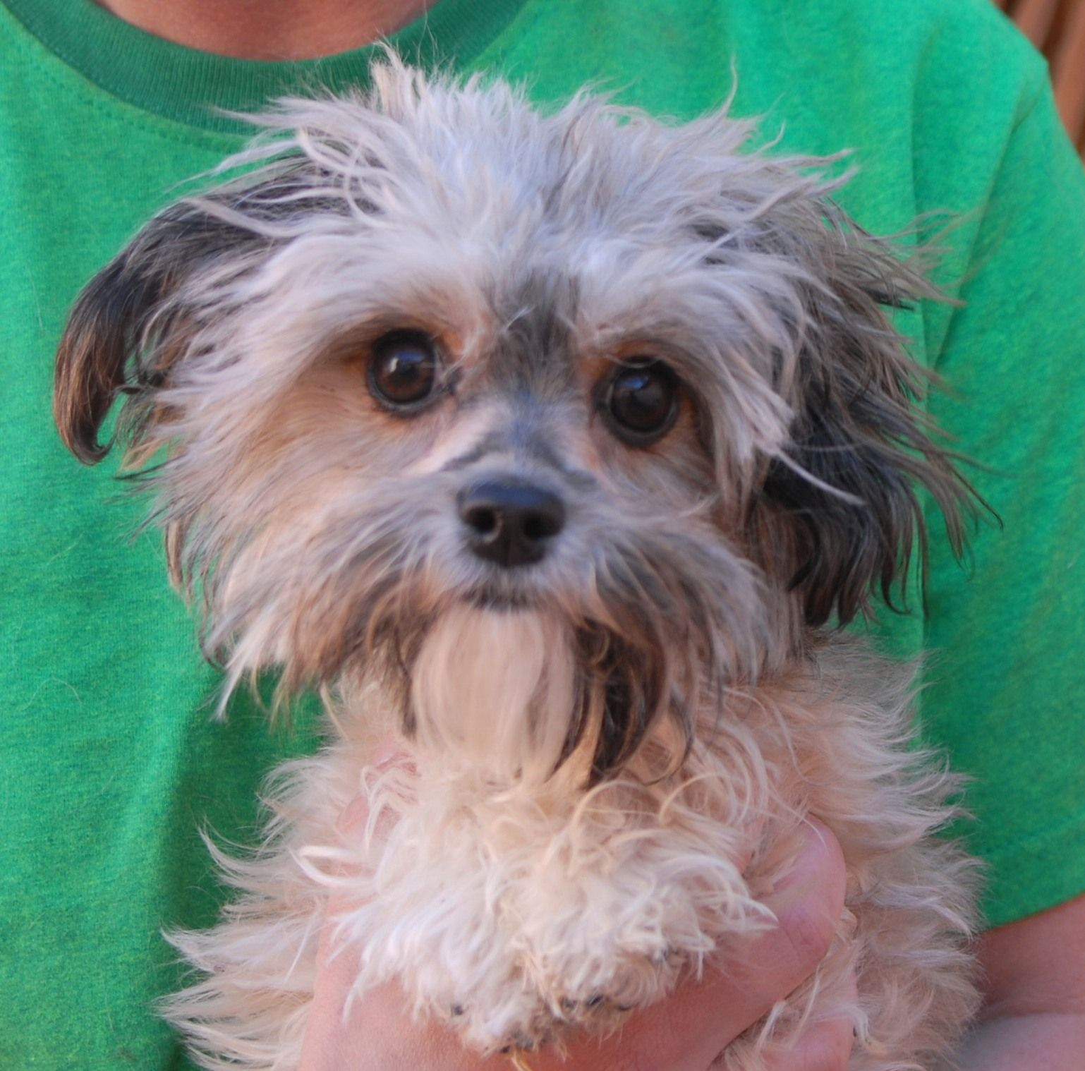 Bryson Is An Angelic Baby Boy Melting The Hearts Of Volunteers And Staff He Is A Shih Tzu Yorkshire Terrier Mix Junio Dog Adoption Dog Friends Cat Adoption
