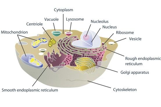 this diagram shows the structures inside a eukaryotic cell an