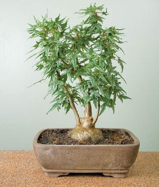 Begonia tweedle dee houseplants pinterest more for Unusual bonsai creations