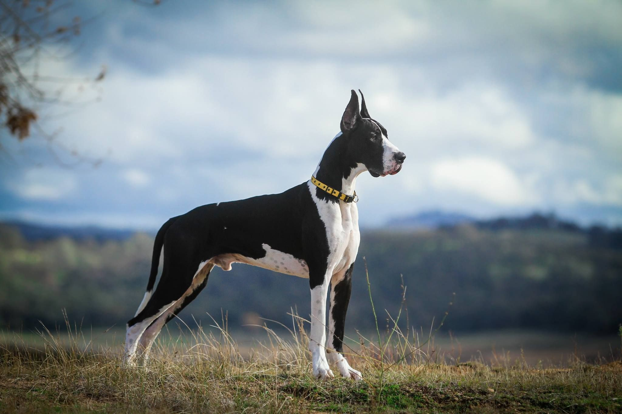 Great Dane Patient And Friendly Great Dane Dogs Mantle Great