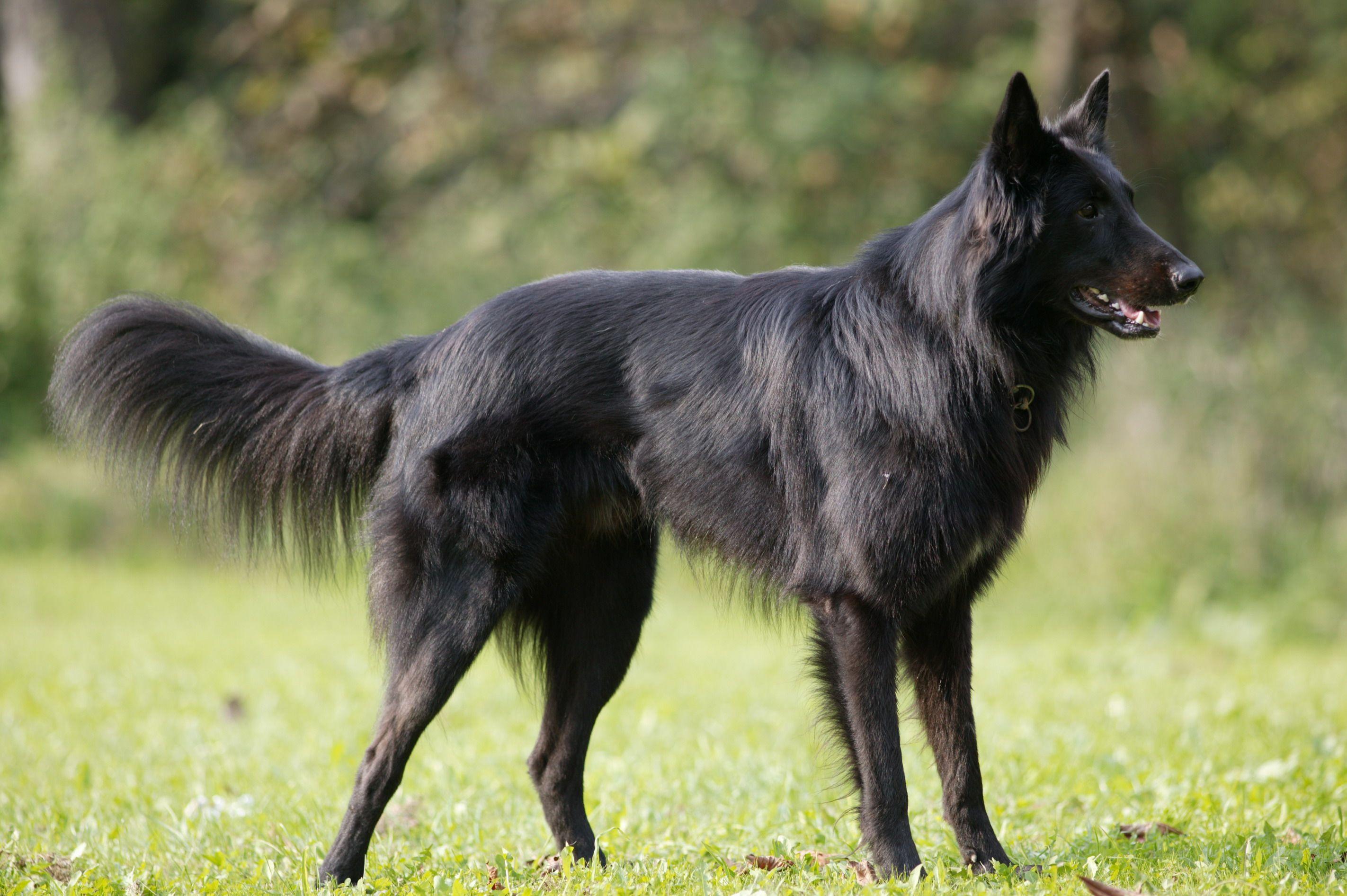 Belgian Sheepdog   Belgian dog, Belgian shepherd, Dog breeds