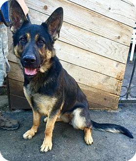 Pin By Alysha Meno On Future Pets German Shepherd Dogs Shepherd