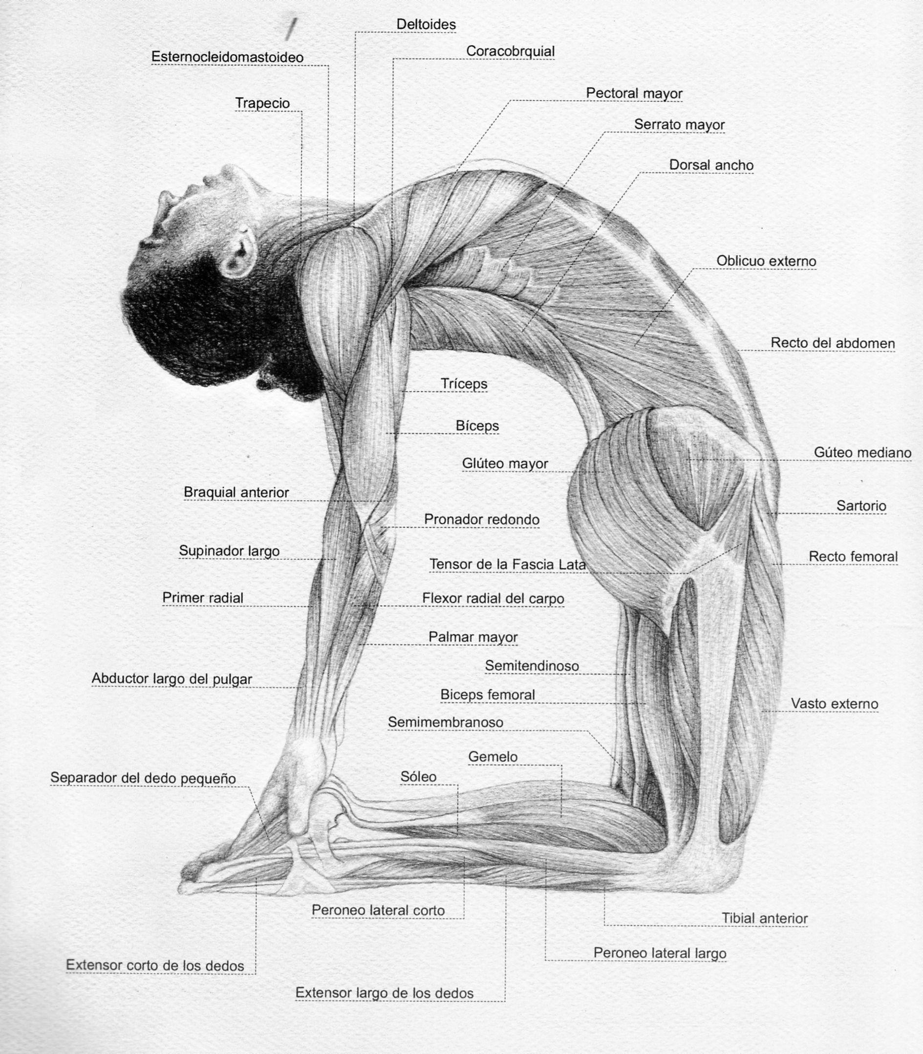 Ustrasana-dibujo-y-musculos | Yoga | Pinterest | Músculos, Dibujo y ...