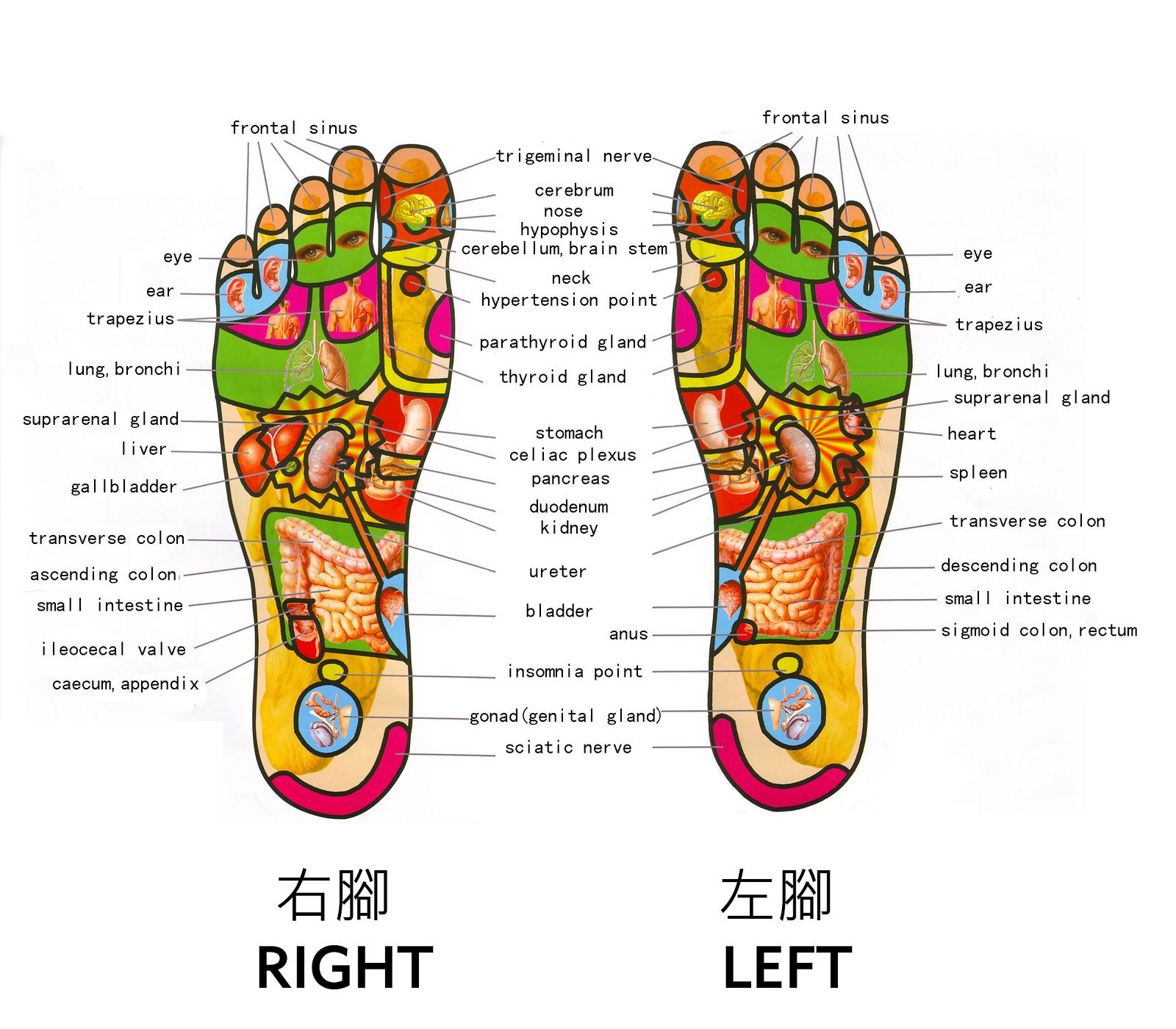 14+ Organs connected to your feet inspirations