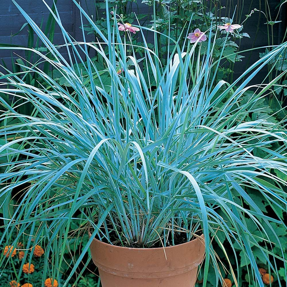 Leymus arenarius (Blue Dune Grass) - ONLY grow this plant in a container on a patio or in a shady area under trees because 1) it is highly invasive and nearly impossible to remove in regular garden soil (it normally grows on dunes so regular soil makes it go crazy happy) and 2) it retains its lovely blue colour through winter better if given shade.  It will be more intensely blue in full sun though.  Can grow to 5' tall and is evergreen everywhere in New England.