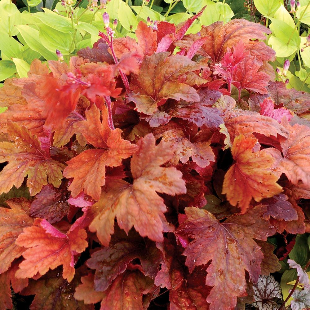 Heucherella Sweet Tea Pp212296e This And Other Fantastic Plants