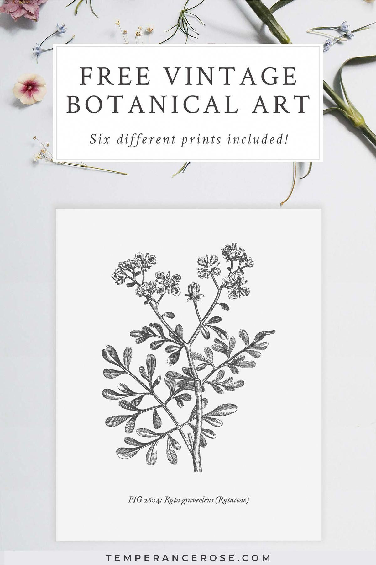 Free Printable Vintage Botanical Wall Art These Free Printables Feature Pictures Of Medicinal P Vintage Botanical Prints Free Printable Art Botanical Wall Art