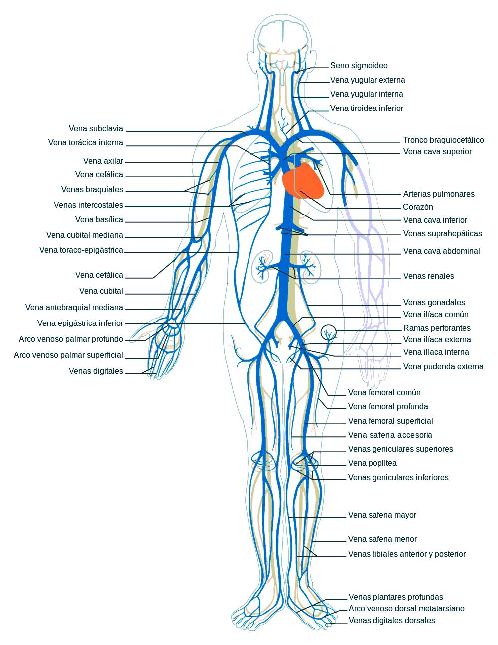 Resultado de imagen para lamina de las venas y arterias del brazo ...