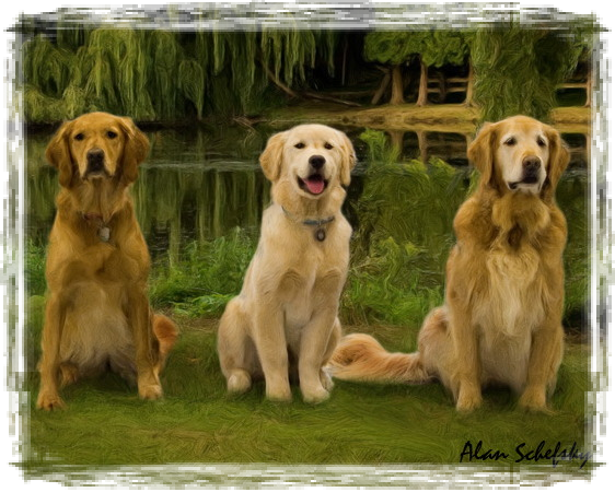 Zumbro Golden Retrievers Golden Retrievers Rochester Minnesota