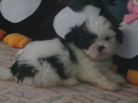 Shih Tzu Puppy For Sale In Asheville Nc Adn 37057 On Puppyfinder