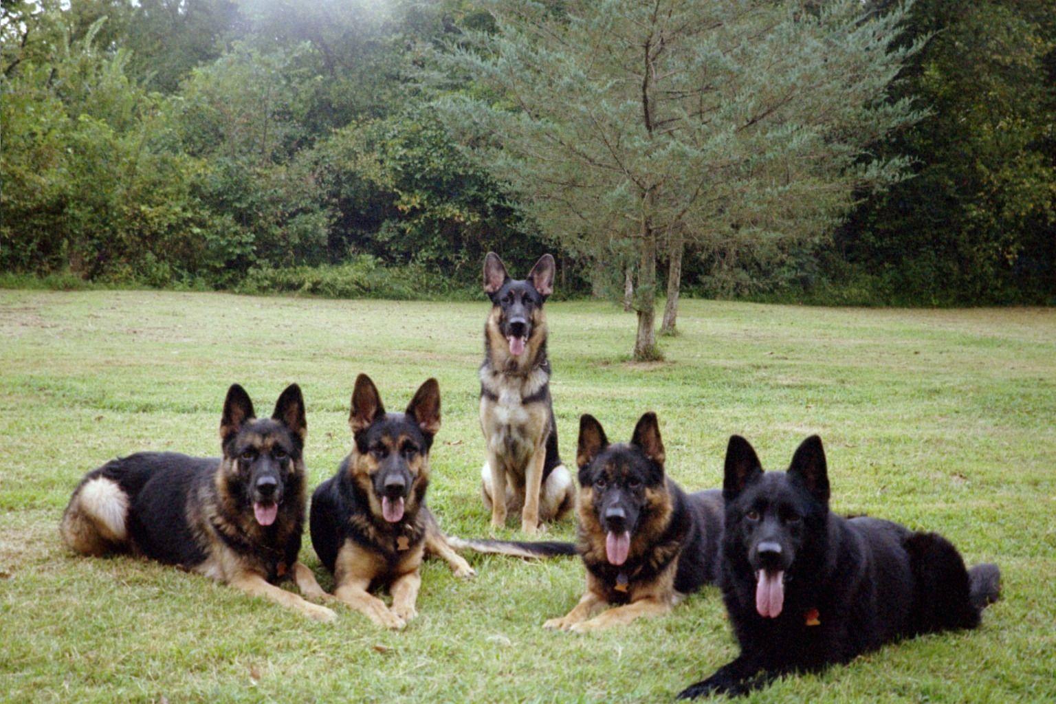 Weiss German Shepherds German Sheperd Dogs German Shepherd Dogs