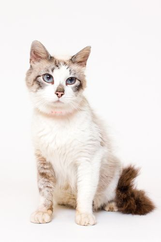Aspen Siamese Cat Knoxville Tn Adoptacat Cat Adoption Cat Rescue Siamese Cats
