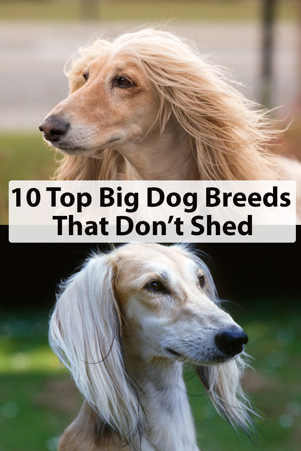 10 Best Large Dog Breeds That Don T Shed Dog Breeds That Dont