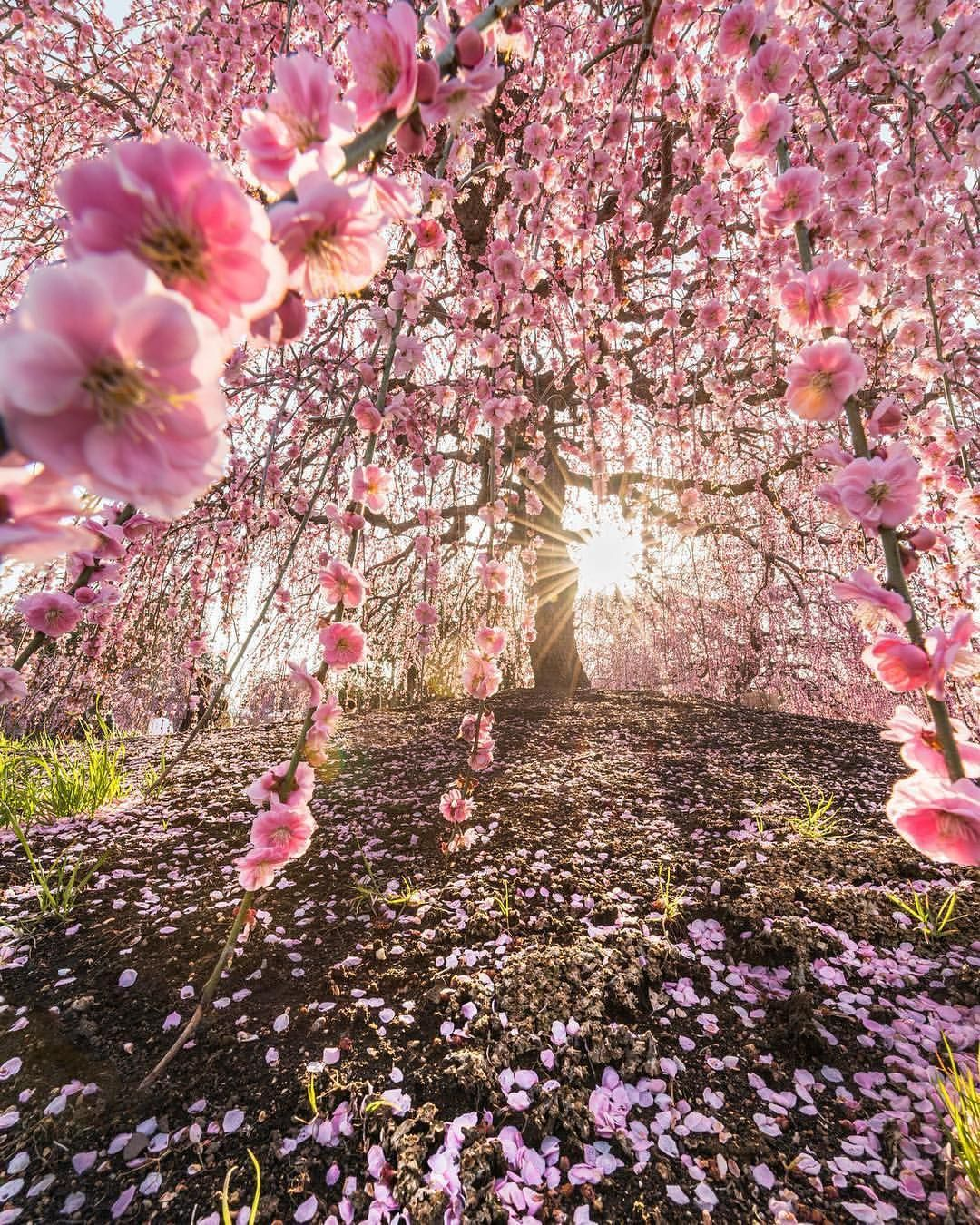 Blossom In The City Of Suzuka Part Of The Mie Prefecture In Japan Photo By Daisukephotography Explore Share Inspi Flowering Trees Beautiful Tree Nature