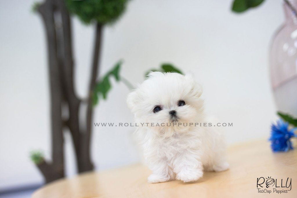 Teacup Teacup Puppies Teacup Puppy Teacuppuppy Teacuppuppies