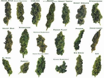 the characteristics and types of the cannabis plant Trichomes give cannabis its unique characteristics different types of the color and shape of a cannabis plant's resin glands tell experienced growers.