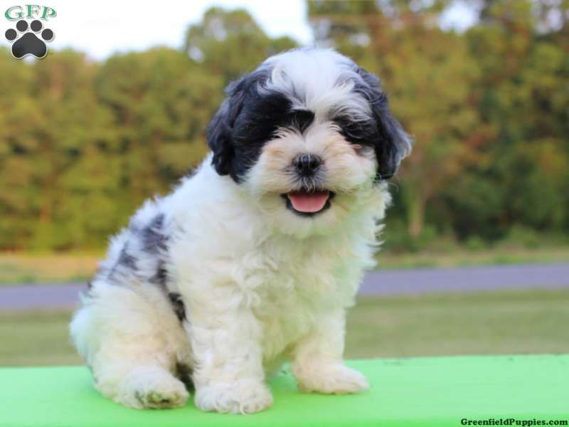 Puppies That Look Like Teddy Bears For Sale