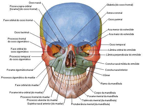 Aula De Anatomia Sistema ósseo Cabeça Crânio Como Um