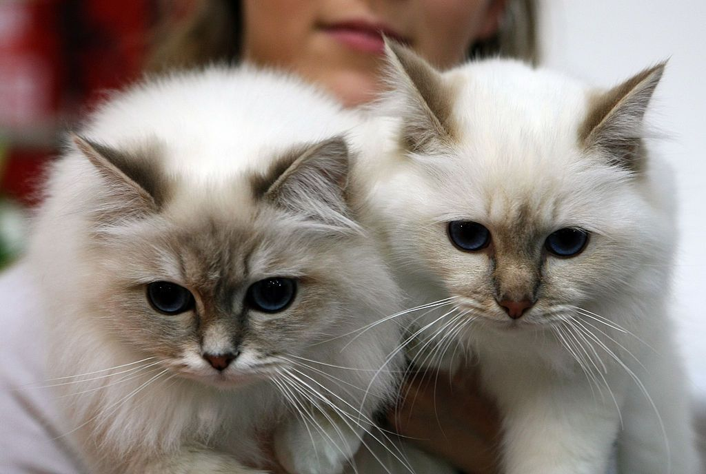 15 Cat Breeds That Act Just Like Dogs With Images Crazy Cats Cute Animal Pictures Kittens
