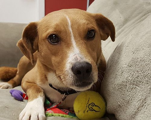 Grayslake, IL - Beagle  Meet Pickle Pants a Pet for Adoption