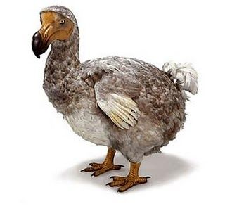 Dodo bird--amazing how much like a dodo the poor thing looks.
