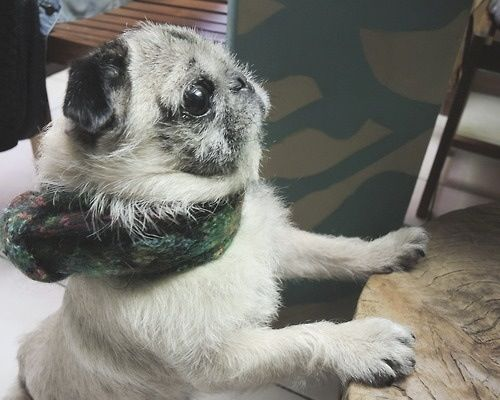 Cashmere Pug With Images Pugs Cute Dogs And Puppies Pug Love