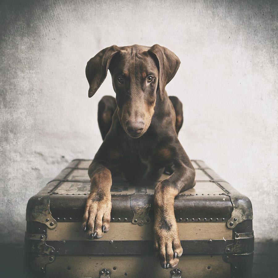 Doberman Pinscher Puppy 3 Doberman Pinscher Dog Doberman