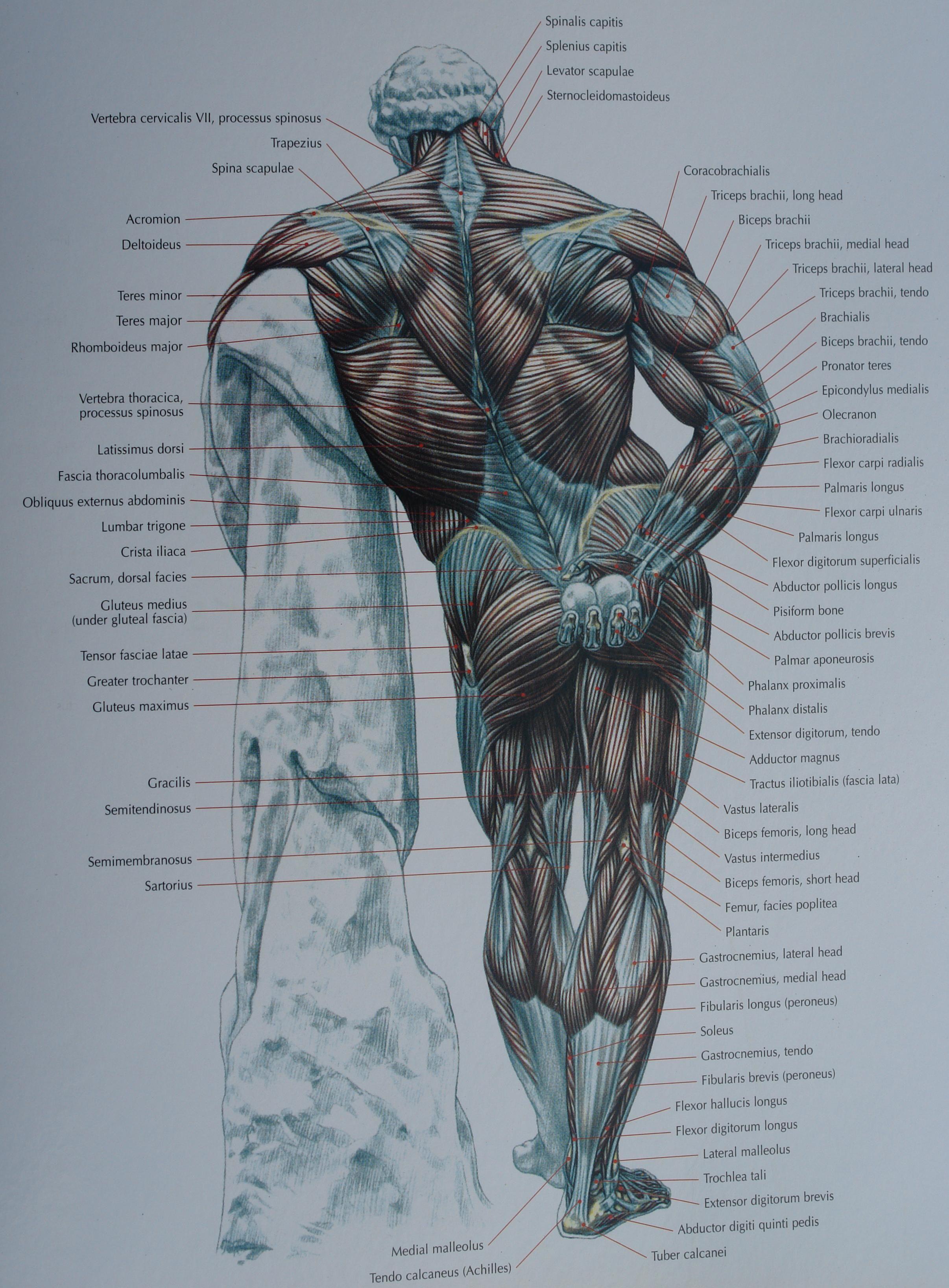 backside | Anatomia | Pinterest | Anatomy, Anatomy reference and ...