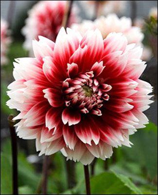 Dahlia Fubuki Red And White White Dahlias Dahlia Pretty Flowers