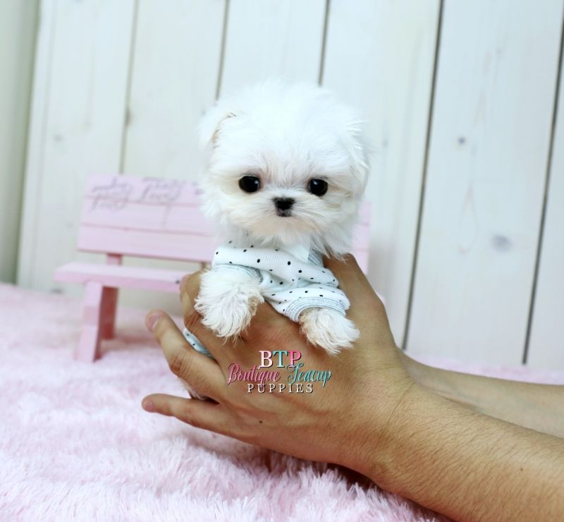 Houston Maltese Puppies For Sale Teacup Puppies Teacup Dog Breeds